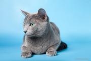 русская голубая котята