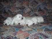 Щенки Цвергшнауцер белого окраса