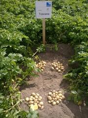 семенной картофель  наш - гарантия Вашего  Успешного бизнаса