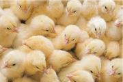 Суточные цыплята из Польши (Львов и Тернополь)