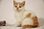 Шотландские котики редкого окраса