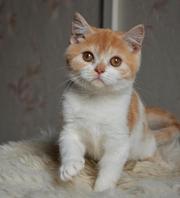 Шотландский котик окраса красный биколор