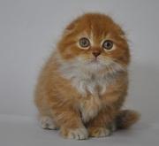 Котик,  хайленд-фолд красного окраса