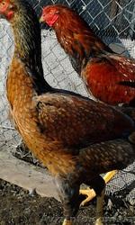 Инкубационное яйцо кур породы Малайская бойцовая