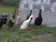 инкубационное яйцо утки индийский бегунок