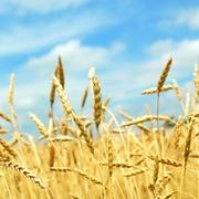 Купим зерновые и масличные