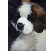 Предлогаем к продаже щенков сенбернара