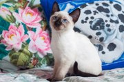 Элитные тайские котята,  от титулованных родителей!
