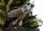 Кудрявый пеликан, баклан, тукан.Продам.