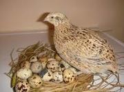 Перепел (яйце,  тушки,  молодняк)