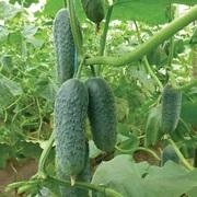 Семена огурца KS 90 F1 фирмы Китано