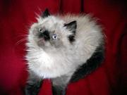 персидские котята экстремального типа