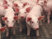 Закуповуємо свинину у живій вазі