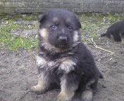 Немецкая овчарка - породные щенки