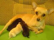 Той-терьер - собачка созданная для любви и красоты !!!