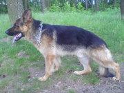 немецкая овчарка- продается молодой, перспективный, крупный кобель!!!